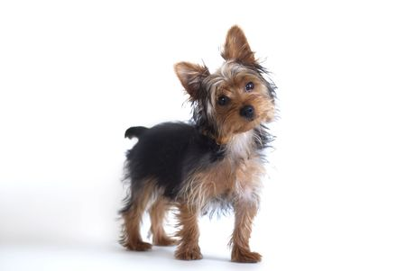 Yorkshire Terrier standing against white background Stock Photo