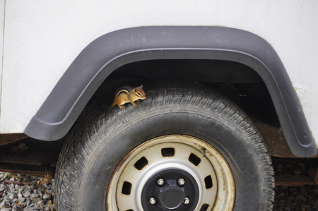 squirrel hiding in wheel well on tire