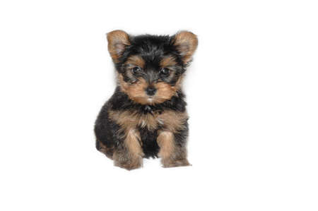 little Yorkshire Terrier puppy against white background Stock Photo