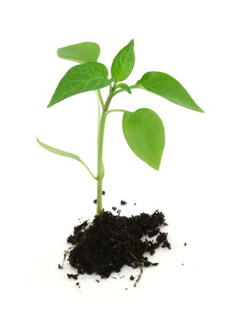 newborn plant with soil isolated on white background photo