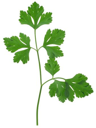 sprig: close-up of parsley sprig isolated on white background,
