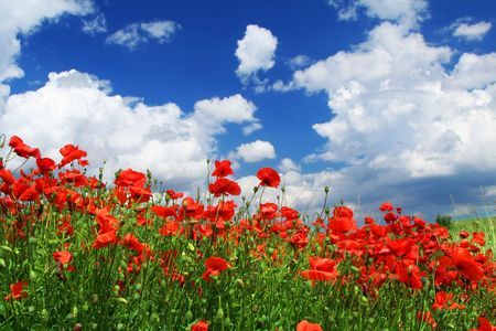 cumulus: field of red poppies with cumulus clouds, focus is set in foreground