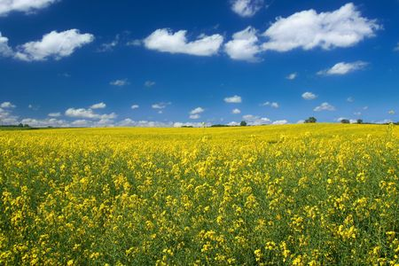 bright yellow canola field against cumulus clouds photo