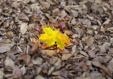 individualism: vivid maple leaf against other dry fallen leaves, focus is set on the yellow leaf