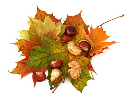 composition of maple leaves and chestnuts on white background photo