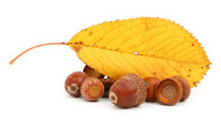 close-up of acorns and leaf against white background  Stock Photo