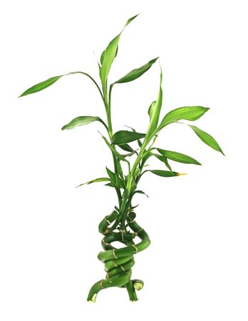 bamboo tree: concept of incredible happiness, three branches of a lucky bamboo joined together, all isolated on pure white background