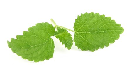 lemon balm: lemon balm on white background, minimal natural shadow underneath