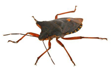 bug key: macro of hemiptera bug against white background, shallow DOF