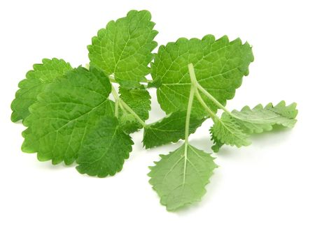 lemon balm: fresh lemon balm on white, natural shadow underneath