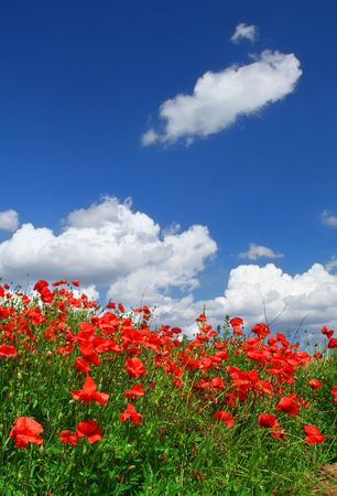 thickets: field of red poppies with cumulus clouds, focus is set in foreground