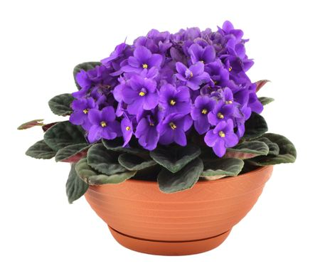 flower pot: fresh violets in pot isolated on white background,  Stock Photo