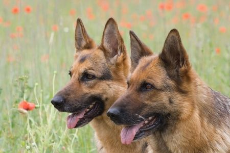 Two Germany shepherds on the poppy field Stock Photo - 1355137