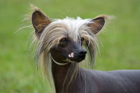 portrait of a chinese crested dog on the grass background