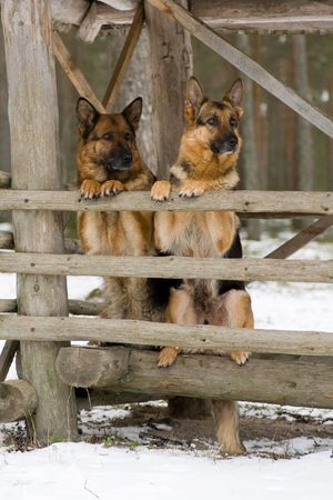 Two Gemany Sheep-dog sitting in the forest