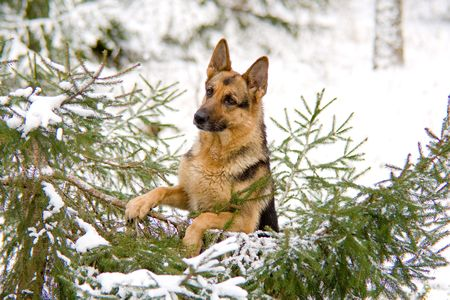 Germany sheep-dog sitting in the winter forest photo