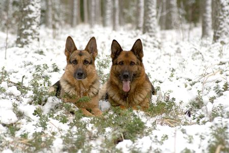 flower show: Two sheep-dogs laying in the winter forest Stock Photo