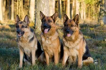 Tree Germany shepherds sitting on a grass in a wood photo