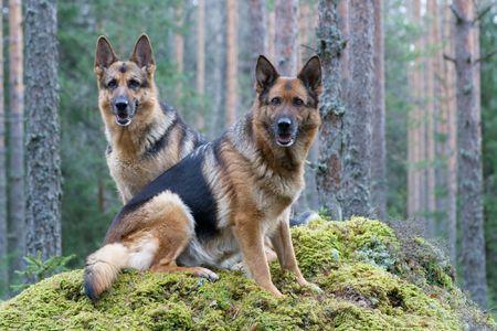 Two Germany shepherds Stock Photo
