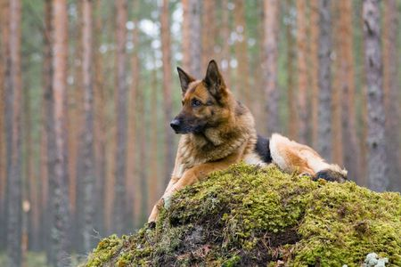 Germany Sheep-dog laying on the stone Stock Photo