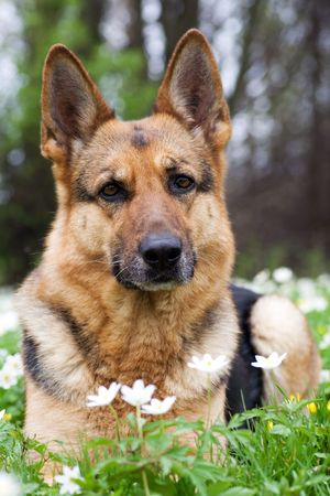 Germany sheep-dog laying in garden with white spring flowers Stock Photo
