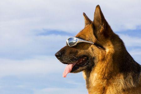 Portrait of the German shepherd with solar glasses