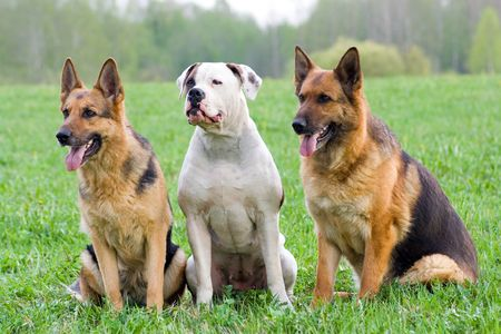 trained: two Germany shepherds and American bulldog sitting on the grass