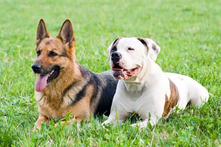 Germany shepherd and American bulldog laying on the grass