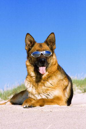 sunburned: German shepherd laying in sun glasses on sand Stock Photo