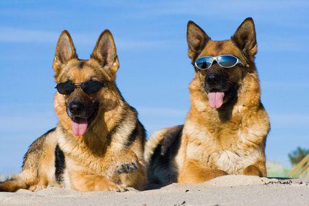 German shepherds lying in sun glasses on sand Stock Photo