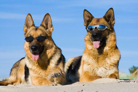 German shepherds lying in sun glasses on sand Stock Photo