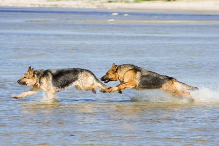 two wet Germany sheep-dogs running fast on sea water photo