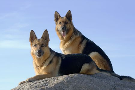 two Germany shepherds on the stone
