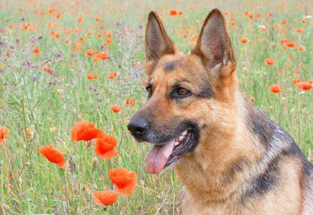 trained: Germany sheepdog portrait Stock Photo