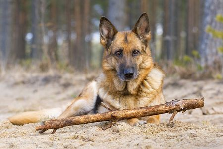 Germany sheepdog laying on sand in spring wood photo