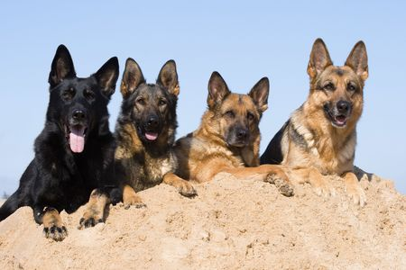 Four Germany Sheepdogs Laying On The Sand photo