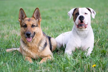 Germany shepherd and American bulldog on the grass photo