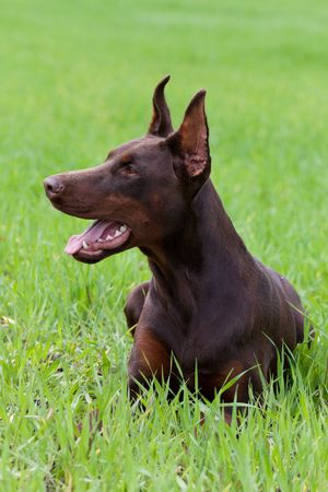 young brown doberman puppy laying on the green grass Stock Photo - 7179878