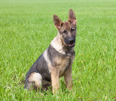 young puppy of a German Shepherd sitting on a green grass of a summer field Stock Photo - 7179874