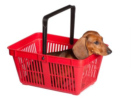 little dachshund puppy isolated over white background