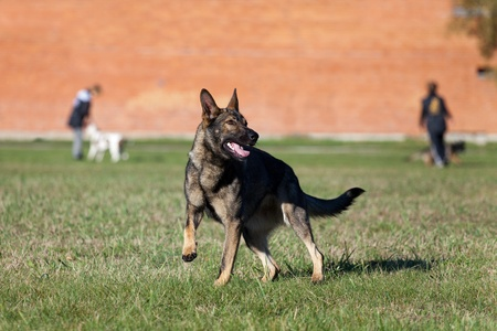 German shepherd on the dog`s playground photo