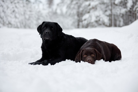 Black and Brown Labrador Retrievers on the white snow