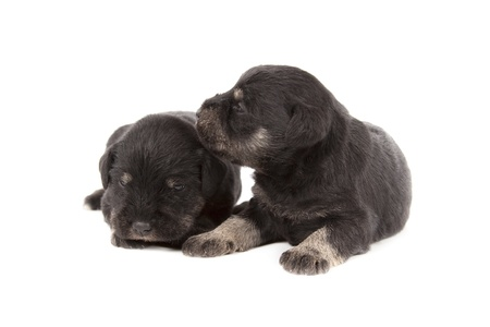 schutz: three black puppies of Miniature Schnauzer isolatad over white background
