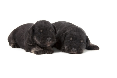 two black puppies of Miniature Schnauzer isolatad over white background photo