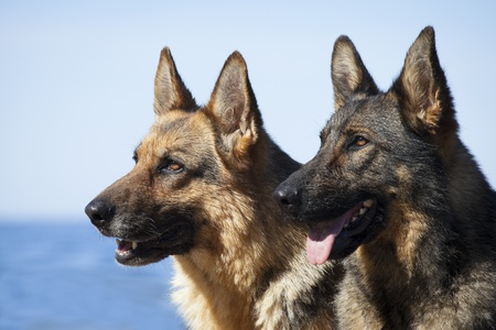 perro furioso: perros pastor alemán retrato sobre fondo azul del mar Foto de archivo