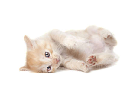 Kurilian Bobtail kitten isolated over white background photo