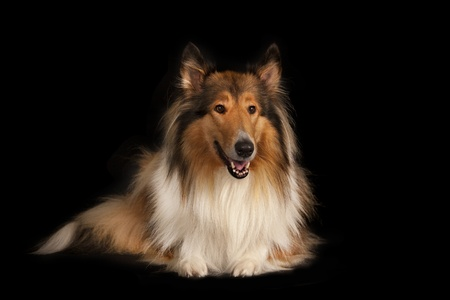 scottish collie: Rough Collie or Scottish Collie isolated over black background