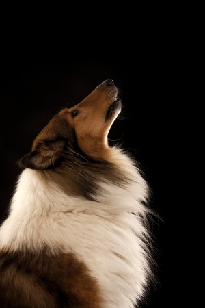 Rough Collie or Scottish Collie isolated over black background photo