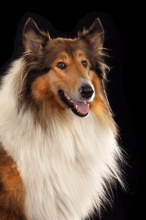 lassie: Rough Collie or Scottish Collie isolated over black background