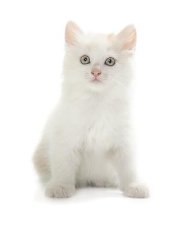 kurilian bobtail: Kurilian Bobtail kitten isolated over white background